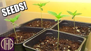 How We Sprout Our Cannabis Seeds For 2019