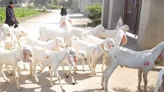 goat farming in pakistan rajanpuri - TH-Clip