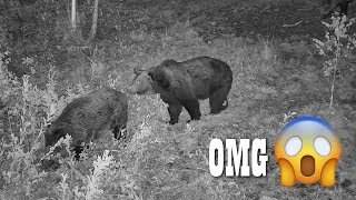 HILARIOUS! BEAR SCARING THE WILD BOAR