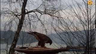 preview picture of video 'Myszołów w karmniku dla drapoli - obraz z kamery online na Ptaki24.pl'