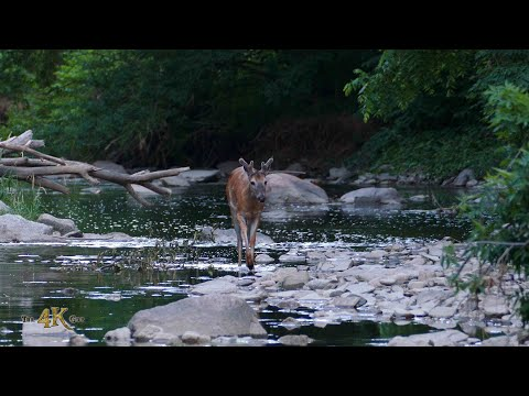Deer and mink socially distancing while sharing the same river in...