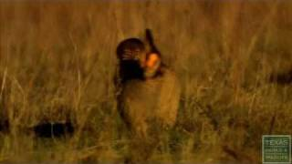 Lesser Prairie Chickens Booming