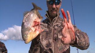 Piranha bites finger half off stupid guy.