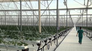 Sweetberry.  Как все начиналось. Первый урожай. ноябрь 2016