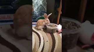 Наш новый домашний питомец.Декоротивный кролик по имени РЫЖИК !!ЗНАКОМТЕСЬ!!!!