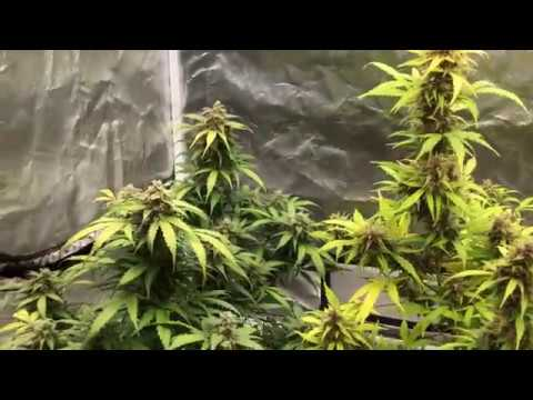 autoflower week 11 update  - Endo Grows - Video - TimeOnMyNails com