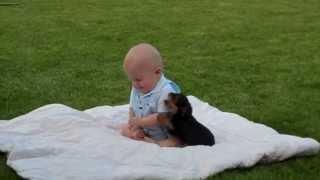 Útok Yorkshirského teriéra na dieťa! Yorkshire terrier attack on baby!