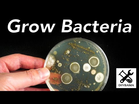How to Grow Bacteria thumbnail