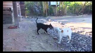 preview picture of video 'COKI NA ASU Kucing VS  Anjing  Dog & Cat'