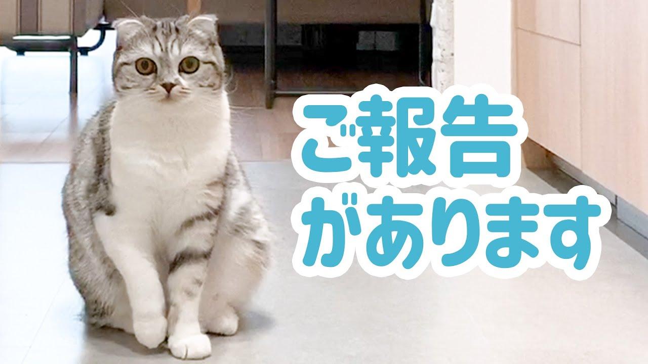 愛猫ぐうの骨の病気についてご報告です[スコティッシュフォールド・ぐう]