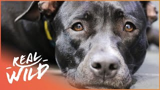 Comet Gets The Tellington Ttouch!   For The Love Of Dogs   Real Wild Documentary