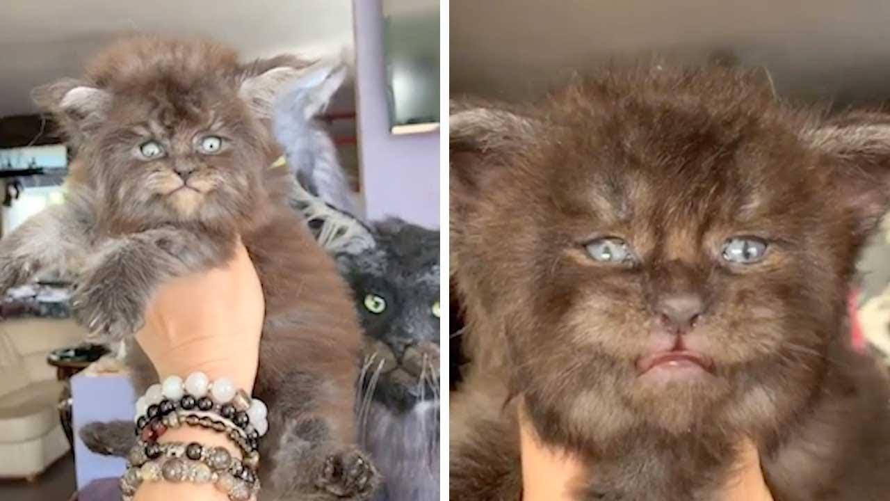 Очаровательные котята породы мейн-кун похожи на маленьких оборотней