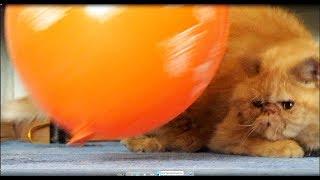 Смешной кот Пончик и воздушный шарик.