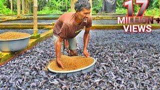 Hybrid Magur Fish Farming Business in India-Part4 | হাইব্রিড মাগুর চাষ | Catfish Farming Eating