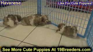 Havanese, Puppies, Dogs, For Sale, In Newark, New Jersey, NJ, 19Breeders, Paterson, Edison
