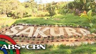 Sakura Trees Sa Benguet Muling Namulaklak | TV Patrol