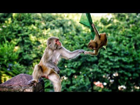 ביקור קסום במקדש הקופים של נפאל