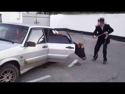 Украденную корову перевозили на заднем сидении легкового автомобиля