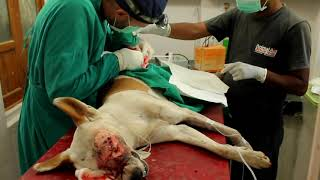 Critically injured street dog gets a new life!