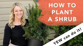 How to plant a shrub // Yew can do it!