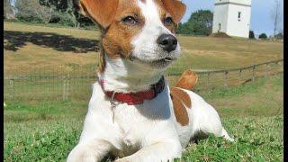 カワイイ!ってだけで、飼ってはいけない犬 [ジャックラッセルテリア編]   Jack Russell Terrier