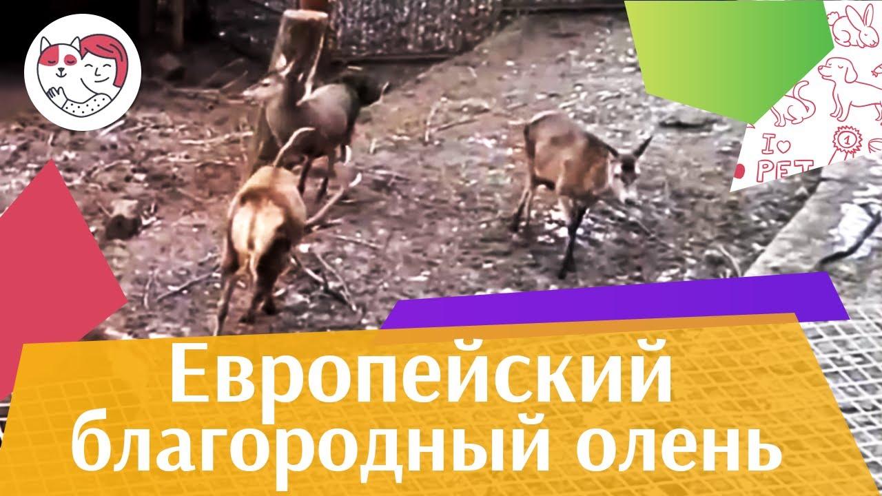 Европейский благородный олень в Калининградском зоопарке на ilikepet