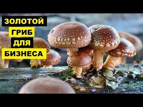 Выращивание грибов шиитаке как бизнес идея