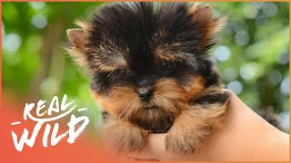 Teacup Puppy Boutique! | Super Tiny Animals | Wild Things Shorts