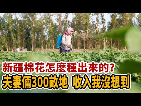 新疆棉花怎麽種出來的?夫妻倆300畝地,收入我沒想到【新疆行記3   想落天外】
