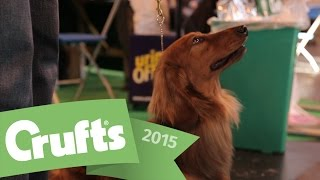Best Of Breed - Dachshund (Long-Haired) And Winners Interview | Crufts 2015