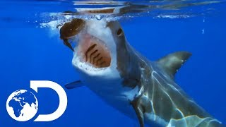 Terrifying Great White Shark Gets Tagged As It Hunts | Shallow Water Invasion