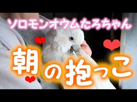 ソロモンオウムたろちゃん 朝の抱っこ始まりました❤ The season has come when cockatoo demands a morning cuddle❤