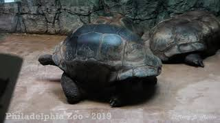 Philadelphia Zoo Giant Tortoise Walking with Mouth Full