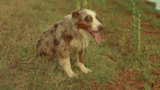 Ranch Dogs Video for The Oklahoma Beef Council - Voiceover by Jon Wilkins in the key of Sam Elliott