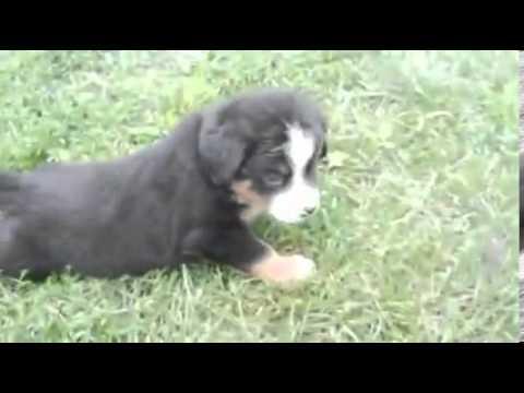 Toledo Ohio Puppies girl 3 (only 4 girls left)