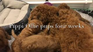 Pippi/Ollie pups four weeks old
