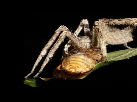 Pavouk vs. penis