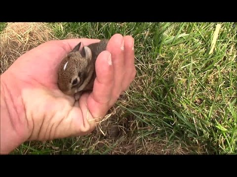 0 Baby Rabbits In A Nest In The Grass