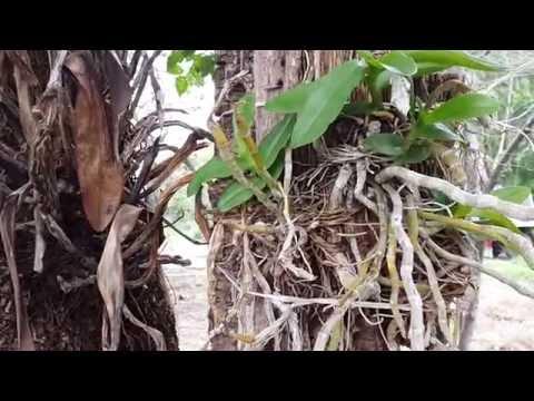 ลักษณะ Giardia ในตับ