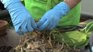 How to Repot an Orchid: Phalaenopsis