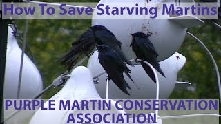 How to Save Starving Purple Martins