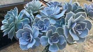 Preparing Succulents For Wedding Bouquet // Angels Grove Co
