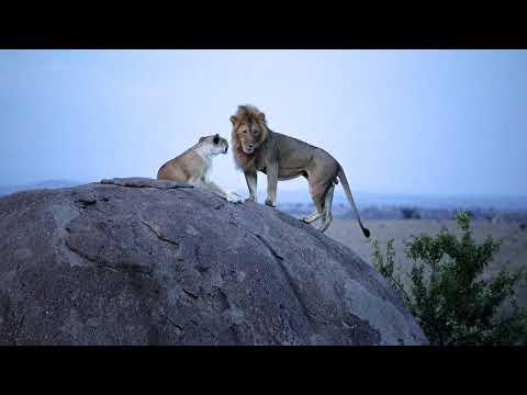 Serengeti Lions movie