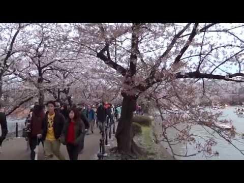Сакура пруда Синобадзу. Парк Уэно.Токио