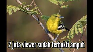 Download Suara pikat burung sertu 100% ampuh!!! Dan memancing sertu yg macet bunyi Mp3