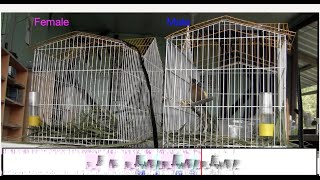 Newswise:Video Embedded duetting-songbirds-mute-the-musical-mind-of-their-partner-to-stay-in-sync