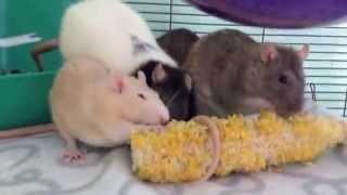 What pet rats should NOT eat