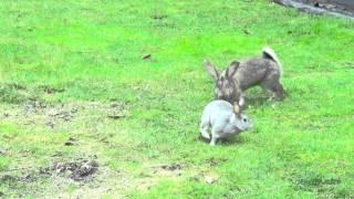 Бои без правил: Кролики самцы дерутся жестоко