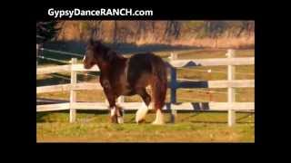 Gypsy Dance Ranch Gypsy Vanner  Mare PRADA