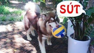 Chó Alaska Mật đi đá bóng - nhận giải cầu thủ chơi bẩn nhất năm ==))